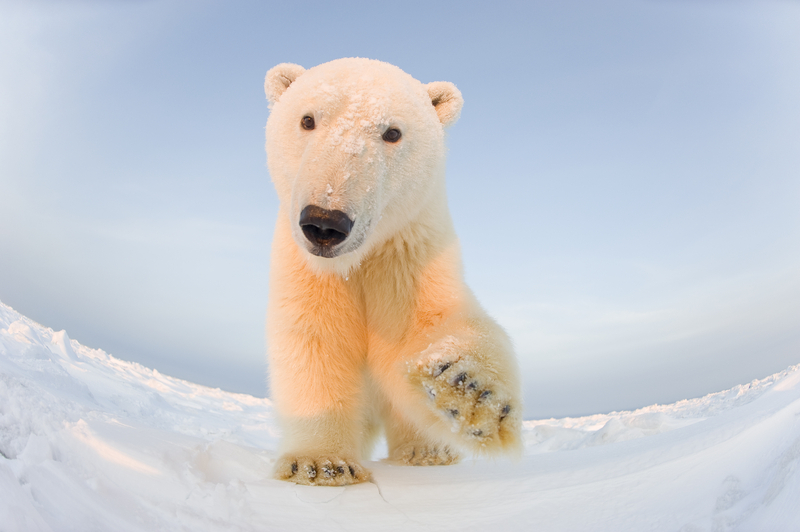 Polar bear (Ursus maritimus) curious young male on the newly frozen pack ice, Beaufort Sea © naturepl.com / Steven Kazlowski / WWF-Canon